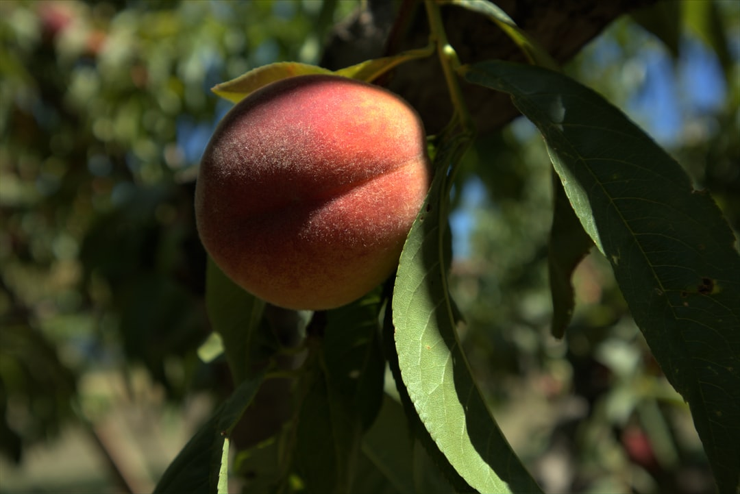 A close up of a fruit hanging from a branch